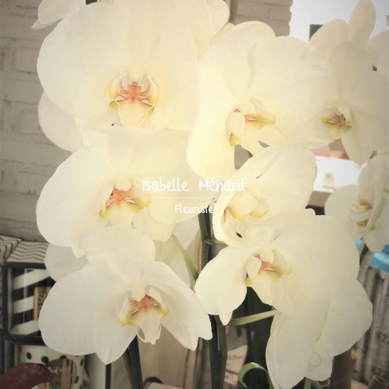 orchidée blanche à grosses fleurs