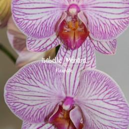 orchidée rose à grosses fleurs