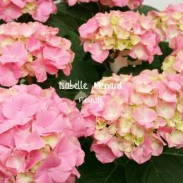 hortensia rose, blanc ou bleu