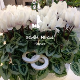 coupe de cyclamen blanc
