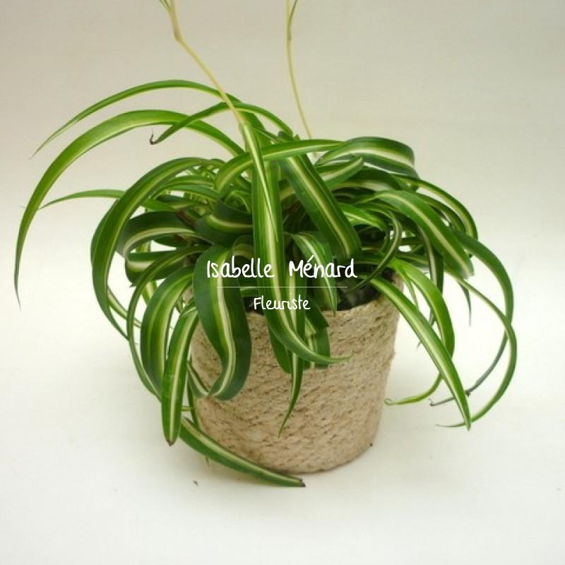 chlorophytum plante depolluante