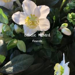 """hellebore ou """"rose de Noël"""""""