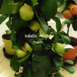 citronnier et ses fruits