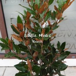 magnolia persistant...